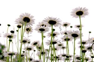 daisies on white