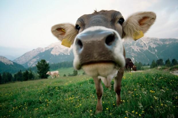 cow, farming